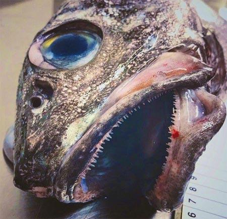 bouche de poissons ouverte avec de petites dents pointues