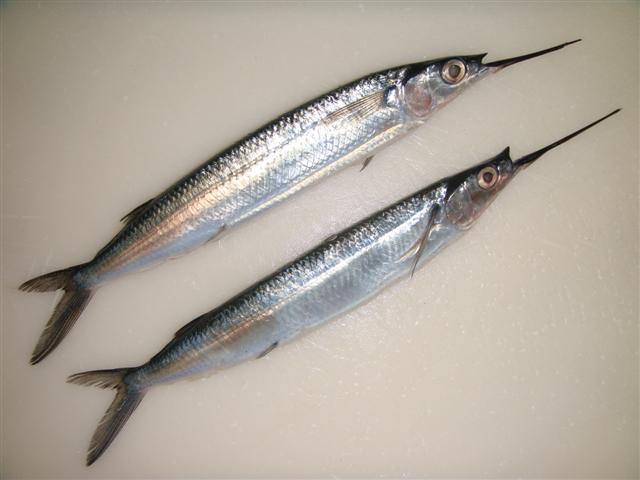 deux poissons demi-bec du genre Hemiramphus