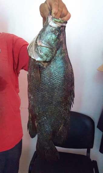 homme portant à la main un grand poisson noir à grande écailles Lobotes