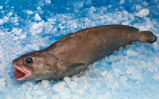 poisson moustelle marron dans de la glace avec bouche ouverte et langue gonflée