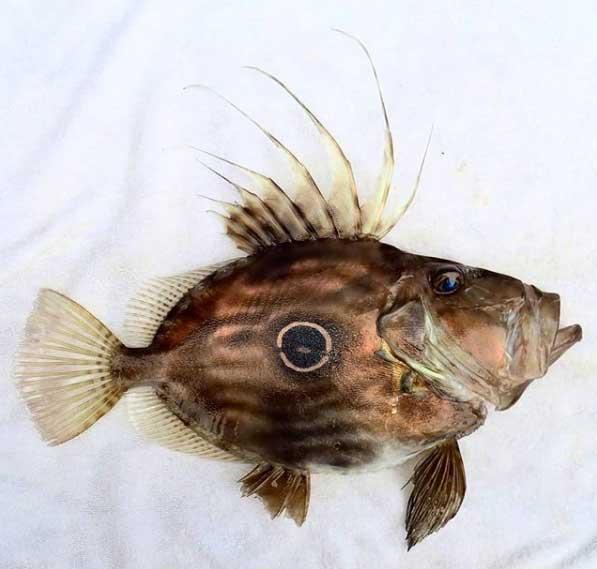 grand poisson de saint pierre