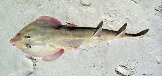 poisson guitare sur une plage