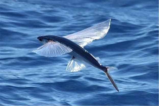 exocet poisson volant au dessus de l'eau