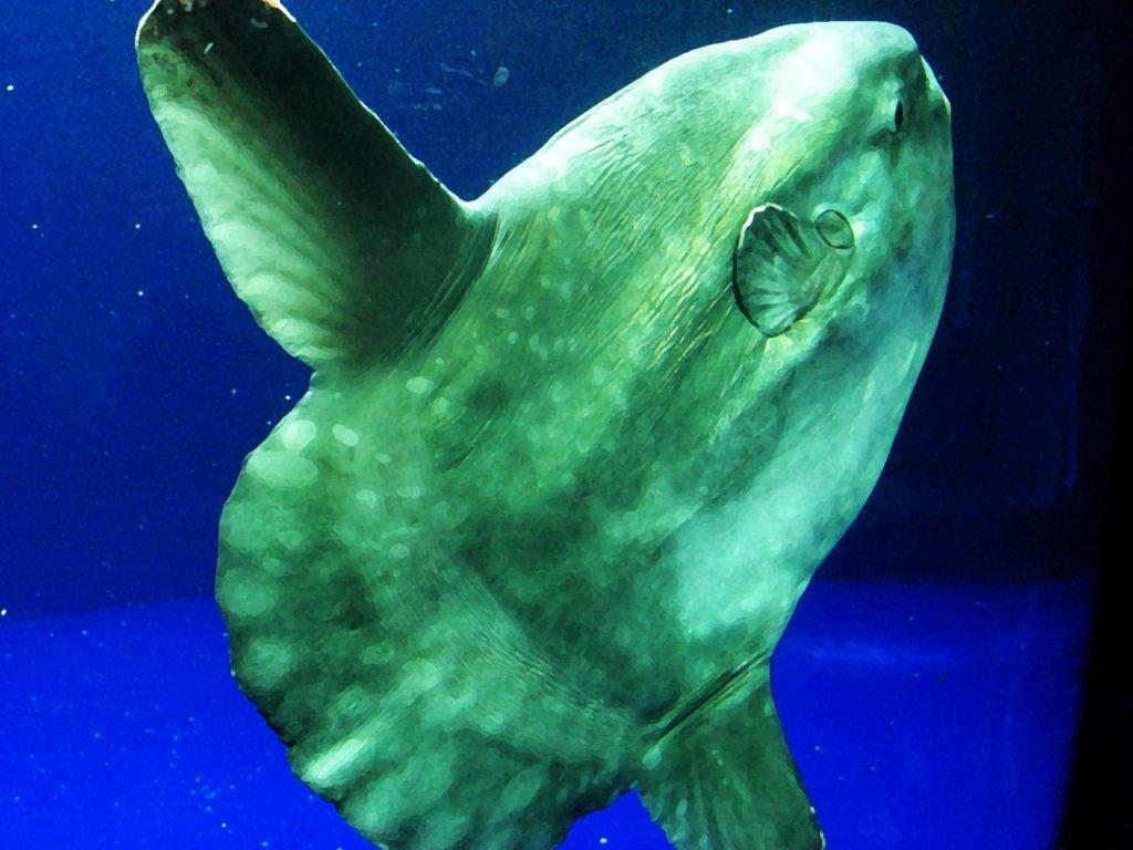 grand poisson lune gris dans un aquarium à fond bleu