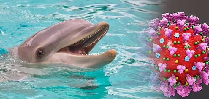 dolphin corona